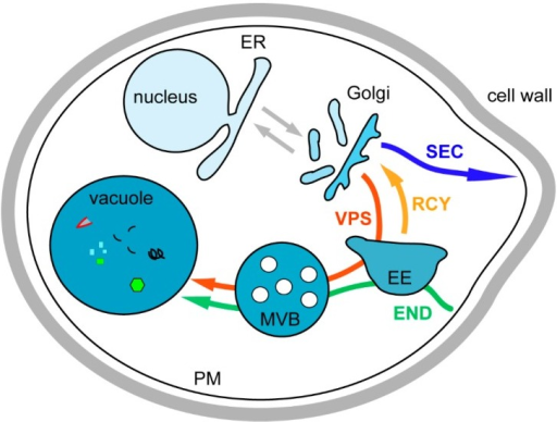 Representation of the different yeast intracellular trafficking pathways. Organellar soluble and membrane proteins are synthesized at the endoplasmic reticulum (ER) and transported to the unstacked Golgi (grey arrow). At the Golgi, these proteins are sorted into anterograde transport vesicles for ER resident proteins (grey arrow), into secretory (SEC) vesicles for plasma membrane (PM) and extracellular proteins (blue arrow), and into vacuolar protein sorting (VPS) vesicles for vacuolar proteins passing through endosomes (red arrow). The endocytic pathway (END) is used for internalization of PM proteins and extracellular medium components (green arrow). At the early endosomes (EE), proteins are sorted between those targeted for degradation into the vacuole, after maturation of the EE into the late endosome or multivesicular body (MVB), and those that are following the recycling pathway (RCY) to avoid degradation by being targeted to the Golgi (orange arrow).