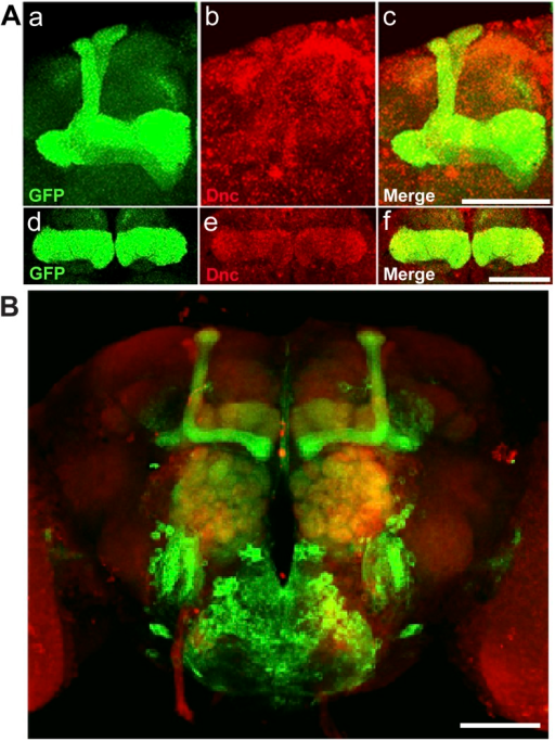 Dnc expression pattern in mushroom bodies in the adult head.(A) Dnc-EGFP-Dnc expression in adult mushroom body: α/β and α′/β′ lobe (a–c), γ lobe (d–f). Adult heads are immuostained with ani GFP (a and d) and anti Dnc (b and e) antibodies. Scale bar, 50 μm. (B) Expression pattern of MB driver 117y-GAL4. Scale bar, 50 μm.DOI:http://dx.doi.org/10.7554/eLife.05338.021