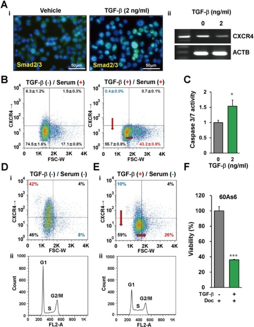 TGF-β promotes differentiation of CXCR4+ small cells and enhances the effect of anti-tumor drugs.(A) Smad2/3 nuclear localization (Ai, green) and CXCR4 expression (Aii) in TGF-β-treated 60As6 cells analyzed by immunohistochemistry and RT-PCR. Nuclei were counterstained with DAPI (blue). Scale bars represent 50μm. (B) Flow cytometry analysis of 60As6 cells with TGF-β treatment under a normal nutrient condition (10% FBS). (C) Caspase 3/7 assay in 60As6 cells with or without TGF-β treatment (n = 3, mean + SE; *p<0.01). (D) Flow cytometry analyses of 60As6 cells with TGF-β treatment under a serum starvation (0% FBS) for 5 days. Dot plotting of the cells (Di). Propidium iodide-based cell cycle analysis (Dii). (e) Flow cytometry analyses of 60As6 cells with TGF-β treatment under a serum starvation (0% FBS) for 3 days. Dot plotting of the cells (Ei). Propidium iodide-based cell cycle analysis (Eii). (F) The viability of 60As6 cells after Doc treatment with or without TGF-β (n = 3, mean + SE; ***p<0.001).