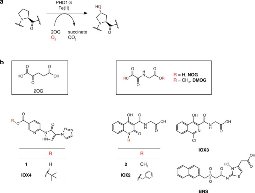Hydroxylation of HIFα and the chemical structures of IOX4 and other PHD inhibitors used in this study.(a) Prolyl-hydroxylation (as catalyzed by the PHDs) of HIFα. (b) Structures of the dihydropyrazoles (1 and IOX4) in comparison to structures of 2-oxoglutarate (2OG), N-oxalylglycine (NOG) (a catalytically inactive analogue of 2OG), dimethyloxalylglycine (DMOG) (a cell-permeable ester derivative of NOG) and IOX2 [9]. Chemical structures of previously reported PHD inhibitors (compound 2, bicyclic isoquinolinyl inhibitor IOX3 and bicyclic naphthalenylsulfone hydroxythiazole BNS) used in this study are also shown.