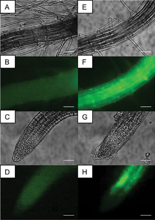 YFP fluorescence in root tissue from 7-day-old transgenic plants expressing SPSRSPPY provides confirmation that the constructs were functional as well as proving proof that YFP fusion proteins can be expressed stably in Arabidopsis seedlings. (A–D) Control Atsps– mutant plant, (E–H) a double transgenic plant expressing both SPSR and SPPY in hairy root and root tip tissue. Scale bar=50 μm.