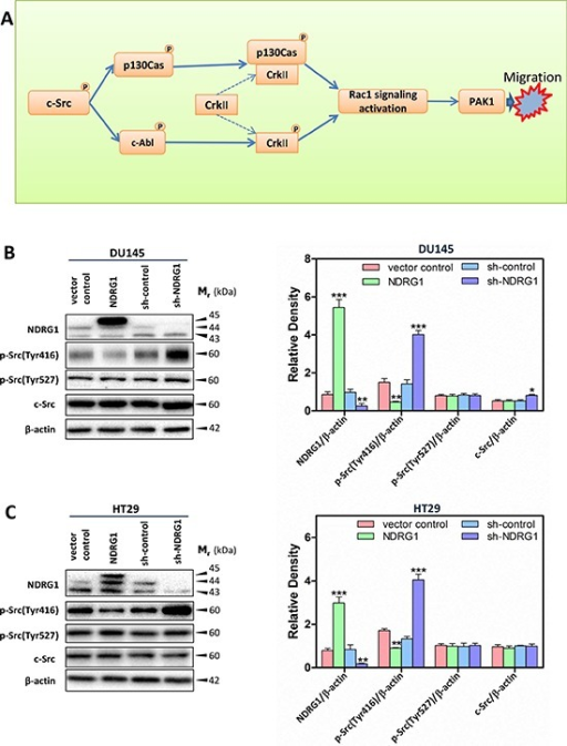Schematic diagram illustrating the c-Src signaling pathway assessed herein (A) and immunoblots revealed that NDRG1 expression inhibited c-Src phosphorylation (Tyr416) in DU145 cells (B) and HT29 cells (C)(B, C) Whole-cell lysates were prepared, and immunoblotting was performed to determine the effect of NDRG1 expression on levels of phosphorylated (p-) c-Src (p-Src(Tyr416) and p-Src(Tyr527)) and total c-Src compared to that of the relative control cells (vector control and sh-control). Blots are representative of 3–5 experiments. Densitometric analysis is expressed relative to the β-actin loading control. Data show the mean ± S.D. (3–5 experiments); *p < 0.05; **p < 0.01; ***p < 0.001, relative to vector control or sh-control cells, as appropriate.