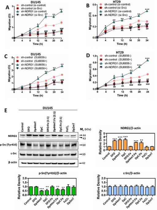 NDRG1 decreases cancer cell migration in a c-Src-dependent manner (A–D) Dp44mT and DpC increase NDRG1 expression and also decrease activation of c-Src (E)(A–D) Migration assays demonstrating that NDRG1 silencing significantly increased DU145 (A, C) and HT29 (B, D) cell migration, as determined by the xCELLigence real-time cell analysis migration assay (see Materials and Methods). In contrast, transiently silencing of c-Src with siRNA, or inhibition of c-Src activity with SU6656, reversed the effect of silencing NDRG1. (E) The levels of NDRG1, p-Src(Tyr416) and c-Src measured by western analysis in DU145 following a 24 h/37°C incubation with control medium, DFO (250 μM), Dp44mT (5 μM), DpC (5 μM), DFO:Fe (1:1; 250 μM), Dp44mT:Fe (2:1; 5 μM), DpC:Fe (2:1; 5 μM), FeCl3 (250 μM), or Dp2mT (5 μM). Results are expressed as mean ± S.D. (3–5 experiments); *p < 0.05; **p < 0.01; ***p < 0.001, relative to sh-control cells, #p < 0.05; ##p < 0.01; ###p < 0.001, relative to sh-control (si-control) or sh-NDRG1 (si-control) cells, as appropriate (A, B); or *p < 0.05; **p < 0.01; ***p < 0.001, relative to sh-control cells, #p < 0.05; ##p < 0.01; ###p < 0.001, relative to sh-control or sh-NDRG1 cells incubated with control medium only, as appropriate (C, D); *p < 0.05; **p < 0.01; ***p < 0.001, relative to cells incubated with control medium only (E).