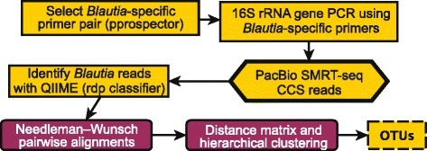 Flowchart of the OTU-picking pipeline. 16S rRNA gene primers specific for the Blautia genus were identified with pprospector, and the primer pair was used to generate 16S rRNA gene amplicons. Enriched PCR samples were targeted for SMRT-seq to get long CCS sequencing reads. CCS reads were taxonomically classified with QIIME pipeline, and reads classified to the genus Blautia were kept. Genetic distances were computed using pairwise alignments. Hierarchical clustering of the resulting dissimilarity matrix was performed at sequence similarities 1 to 6 % with 1 % increments. The final set of OTUs was filtered by requiring at least 10 or more supporting reads