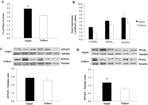 Intramuscular fat content and expression of adipogenic markers in skeletal muscle of Angus and Nellore cattle.Intramuscular fat measured by % of ether extract; B) mRNA expression of CCAAT enhancer binding protein, alpha (C/EBPα), Peroxissome proliferator activated-receptor gamma (PPARγ), and Zinc finger protein 423 (Zfp423); C) Zfp423 abundance evaluated by western-blot; D) PPARϒ abundance evaluated by western-blot; Tubulin was used as a loading control. mRNA expression and protein abundance did not differ (P ≥ 0.05).