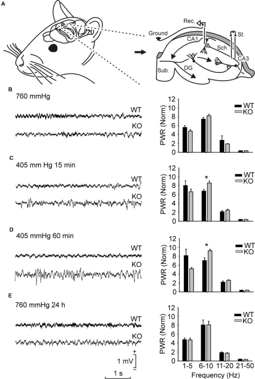 Spectral analysis of local field potentials (LFPs) recorded in the pyramidal CA1 area from the two groups of mice in different hypobaric situations. (A) Experimental design. Animals were implanted with recording (Rec.) electrodes in the hippocampal CA1 area and with stimulating (St.) electrodes in the ipsilateral Schaffer collateral-commissural pathway. (B,E) From top to bottom are illustrated LFPs recorded and sequenced power spectra (1–5 Hz, 6–10 Hz, 11–20 Hz, and 21–50 Hz) from representative wild-type (WT) and GYS1Nestin-KO (KO) mice placed at ground level (35 m ≈ 760 mmHg) (B), 15 min (C) and 60 min (D) after being placed under hypobaric conditions (5000 m ≈ 405 mmHg), and 24 h after being returned to ground level (760 mmHg; 24 h) (E). Note the different LFP profiles presented by the two groups of mice in the four different hypobaric situations. Calibrations in (E) are also for (B–D). Spectral analysis was averaged from LFPs recorded from n ≥ 10 animals per group. Note the higher spectral powers computed from KO mice in the 6–10 Hz band for the two hypobaric situations when compared with those presented by their littermate controls. Amplitudes of power spectra were normalized taking the sum of the total power spectra (from 1 to 50 Hz) of each animal during the initial 760 mmHg situation as a total power (PWR) of 100. Values are expressed as mean ± SEM. Statistical differences, ∗P < 0.05. Student t-test.