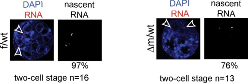 RNA FISH controls for LINE-1 ongoing transcription.RNA FISH using a probe recognizing the Atrx genomic locus (signal in red; DAPI is blue) on two-cell stage f/wt control embryo (left) and Δm/wt mutant embryo (right). Numbers of embryo processed and percentage of nuclei showing pinpoints of nascent transcripts by RNA FISH assays are indicated under each genotype.DOI:http://dx.doi.org/10.7554/eLife.08851.014