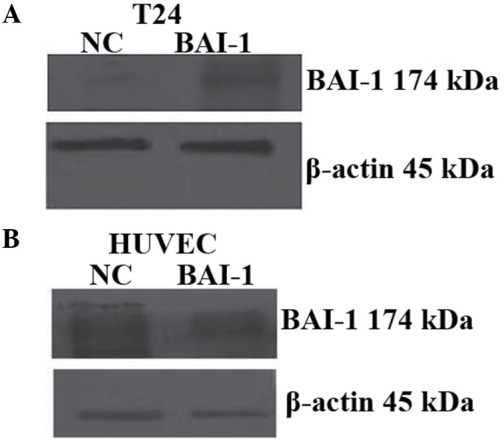 Protein expression of BAI-1 levels in (A) T24 cells and (B) HUVECs by western blot analysis. HUVECs, human umbilical vein endothelial cells; NC, negative control; BAI-I, brain-specific angiogenesis inhibitor-1.