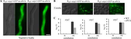 The subcellular localization of the other early melanin enzymes, Ayg1 and Arp1, is independent of that of the PKS enzyme Alb1. (A and B) Localization of constitutively expressed Ayg1-GFP and Arp1-GFP in vegetative hyphae (A) and conidia (B) in the alb1Δ mutant background. Scale bar, 5 µm. (C) The relative transcript levels of ayg1, arp1, and arp2 in the wild type and the alb1Δ mutant following induction during conidiation (24 h after transfer to solid medium). The transcript level of each gene was compared to that of the wild type during vegetative hyphal growth. Error bars show standard deviations.