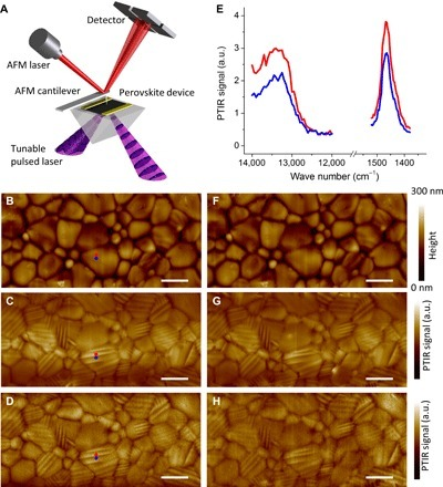 Observation of ferroelastic domains by PTIR and their insensitivity to the applied electric field.(A) Schematic illustration of the PTIR measurement. An AFM cantilever measures the thermal expansion resulting from light absorption. (B) AFM topography image of the sample A2 area between electrodes and corresponding PTIR images of (C) CH3 asymmetric deformation of the methylammonium ion (1468 cm−1) and (D) electronic transition above the bandgap (13,250 cm−1 and 1.64 eV) of the as-prepared sample. (E) Representative electronic (left) and vibrational (right) absorption spectra obtained from contiguous bright (red dot) and dark (blue dot) striations visible in PTIR images. (F) Sample A2 AFM topography image and corresponding PTIR images at 1468 cm−1 (G) and 13,250 cm−1 (H) obtained after applying a bias of 0.86 V·μm−1 for 1 min (in plane electric field). Scale bars, 2 μm.