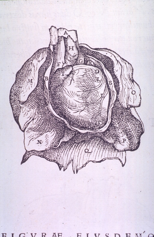 <p>The pericardium surrounding the heart.</p>