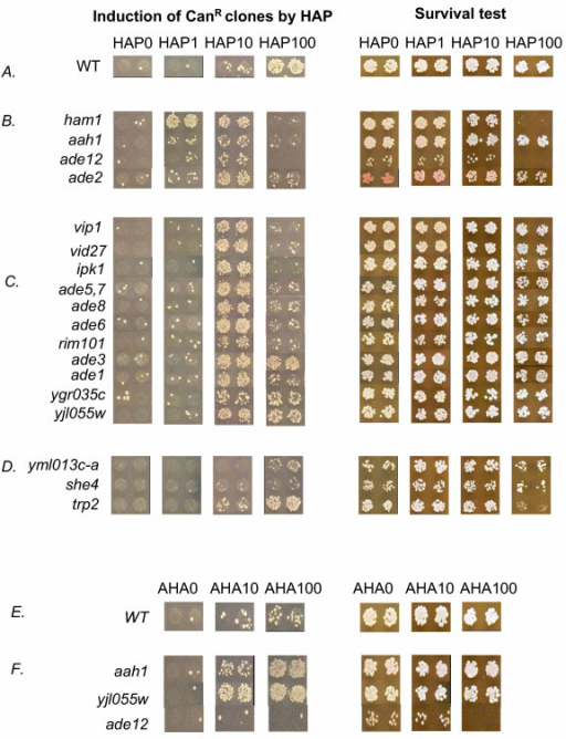 Results of the screening of the yeast deletion library for elevated mutagenesis and sensitivity in micro-titer plates. Left panel – Mutagenesis on selective plates with canavanine. Right panel – The estimation of the number of colony-forming units on YPD medium.