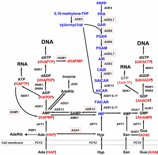 Purine salvage and purine biosynthesis de novo in yeast Saccharomyces cerevisiae. Intermediates of the purine biosynthesis de novo are designated in blue. The salvage pathway is presented in black. Genes, whose deletions lead to HAP and/or AHA sensitivity are highlighted by red boxes. The proposed conversions of HAP and AHA are represented in brackets below the adenine and guanine metabolites, respectively. Dashed arrows represent hypothetical pathways that were not demonstrated experimentally for a given substrate. Abbreviations:Purine biosynthesis de novo: PRPP – 5-phospho-ribosyl-1α-pyrophosphate, PRA – 5-phospho-β-D-ribosylamine, GAR – 5-phosphoribosylglycinamide, FGAR – 5'-phosphoribosyl-N-formyl glycinamide, FGAM – 5'-phosphoribosyl-N-formylglycinamidine, AIR – 5'-phosphoribosyl-5-aminoimidazole, CAIR – 5'-phosphoribosyl-5-aminoimidazole-4-carboxylate, SAICAR – 5'-phosphoribosyl-4-(N-succinocarboxamide)-5-aminoimidazole, AICAR – 5'-phosphoribosyl-4-carboxamide-5-aminoimidazole, FAICAR – 5'-phosphoribosyl-4-carboxamide-5-formamidoimidazole, SAMP – adenylosuccinate, 5,10-methylene-THF – 5,10-methylenetetrahydrofolate, 10-formyl-THF – 10-formyltetrahydrofolate. Salvage: Ade – adenine, AdeRib – adenosine, Hyp – hypoxanthine, Gua – guanine, Xan – xanthine.