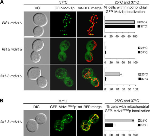 fis1-3 mutations cause GFP-Mdv1p localization defects that are suppressed by the E250G substitution. DIC (left), GFP-Mdv1p or GFP-Mdv1E250Gp (middle), and GFP-Mdv1p or GFP-Mdv1E250Gp merged with mt-RFP (right) images of indicated strains grown at 37°C are shown. Histograms indicate the percentage of cells with mitochondrial localization of GFP-Mdv1p or GFP-Mdv1E250Gp at each temperature (n ≥ 300; SDs are indicated). (A) GFP-Mdv1p localization in FIS1 mdv1Δ (top), fis1Δ mdv1Δ (middle), and fis1-3 mdv1Δ cells (bottom). (B) GFP-Mdv1E250Gp localization in fis1-3 mdv1Δ cells. To maximize visibility of GFP-Mdv1p, we used mdv1Δ cells expressing plasmid-borne GFP-Mdv1p from the MET25 promoter without induction. Bar, 5 μm.