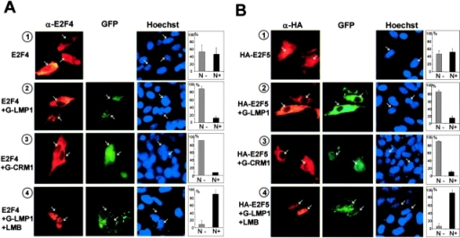 LMP1 induces cytoplasmic accumulation of E2F4/5. (A and B) E2F4 (A) or HA-tagged E2F5 (B) was expressed alone (1) or coexpressed with GFP-tagged LMP1 (2 and 4) or GFP-tagged CRM1 (3) in SVts8 cells. E2F4 was detected by immunostaining with anti-E2F4 antibody and HA-tagged E2F5 was determined by immunostaining with anti-HA antibody. Cells were treated with 2.5 ng/ml of LMB (4). Histograms on the right side of the micrographs indicate the percentage of nuclei that were positive (N+) or negative (N−) for E2F4/5 expression. (A and B) Arrows indicate cells expressing E2F alone (1) or cells expressing both E2F and GFP-tagged LMP1 (2 and 4) or cells expressing both E2F and GFP-tagged CRM1 (3). (C) Activation of the human Rb gene promoter by E2F4 or E2F5 was blocked by coexpression of LMP1 in SVts8 cells. Expression plasmids encoding the indicated proteins were introduced into SVts8 cells along with 0.7 μg of Rb gene promoter–luciferase construct and with 0.2 μg of MMLV-lacZ plasmid. Luciferase activities were normalized by lac-Z activities. For all panels, error bars indicate SD.
