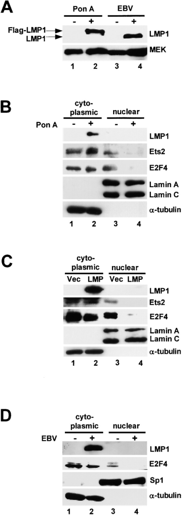 LMP1 induces intracellular redistribution of endogenous Ets2 and E2F4 proteins. (A) LMP1-inducible cell line was established using SVts8 cells and Ecdyson inducible system (lanes 1 and 2). LMP1 expression was induced by the incubation with 0.5 μg/ml of Ecdyson homologue, Ponasteron A for 2 d, and levels were compared with that of EBV-positive (lane 4) and -negative (lane 3) human B cells. MEK was used here as a loading control. (B) LMP1-inducible cell line described in A, was treated with (lanes 2 and 4) or without (lanes 1 and 3) 0.5 μg/ml of Ponasteron A for 2 d. Next, both cytoplasmic (lanes 1 and 2) and nuclear (lanes 3 and 4) fractions were prepared and the levels of endogenous E2F4 and Ets2 were analyzed. α-Tubulin and LaminA/C were used here as cytoplasmic or nuclei marker, respectively. (C) Early passage (38 PDLs) HDFs expressing ecotropic receptor were infected with a retrovirus encoding LMP1 (lanes 2 and 4) or control vector (lanes 1 and 3). 4 d after infection, both cytoplasmic (lanes 1 and 2) and nuclear (lanes 3 and 4) fractions were prepared and the levels of endogenous E2F4 and Ets2 were analyzed. α-Tubulin and LaminA/C were used here as cytoplasmic or nuclei marker, respectively. (D) Both cytoplasmic and nuclear fractions were prepared from BL41 cells (EBV negative) and BL41 + B95 cells (EBV positive). The levels of endogenous E2F4 were analyzed by Western blotting. α-Tubulin and Sp1 were used here as cytoplasmic or nuclei marker, respectively. LMP1 expression was confirmed by anti-LMP1 antibody.