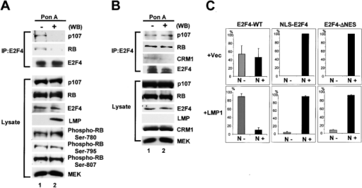 LMP1 induces dissociation of E2F4 from pRB family proteins. (A and B) LMP1-inducible cell line (A) and Svts8 cells (B) were treated with (lane 2) or without (lane 1) 0.5 μg/ml of Ponasteron A for 2 d. Next, cell lysates were immunoblotted directly with antibodies shown right (lysate) or after immunoprecipitated with anti-E2F4 antibody (IP). (C) E2F4-WT or E2F4-WT fused to NLS sequence (NLS–E2F4) or E2F4 ΔNES (68, 70A E2F4s1) was coexpressed with or without GFP-tagged LMP1 in SVts8 cells. E2F4 was detected by immunostaining with anti-E2F4 antibody and the histograms indicating the percentage of nuclei that were positive (N+) or negative (N−) for E2F4 expression were shown. Error bars indicate SD. (D and E) LMP1-inducible cell line was treated with (lane 2) or without (lane 1) 0.5 μg/ml of Ponasteron A for 2 d. Next, cell lysates were immunoblotted directly with antibodies shown right (lysate) or after immunoprecipitated with antibodies shown left (IP).