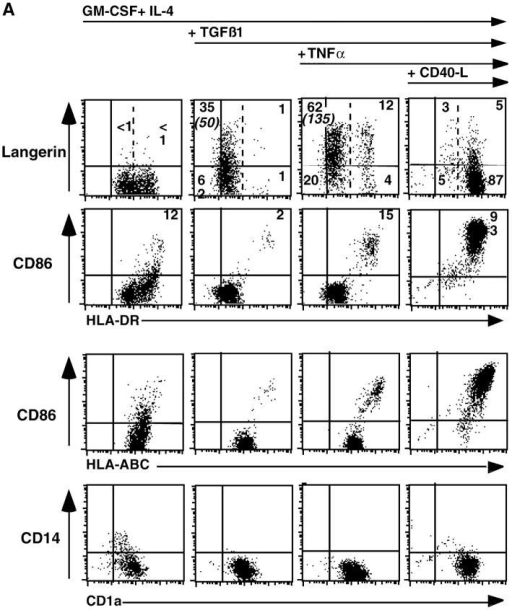In vitro differentiation of LC-type cells. (A) TNF-α upregulates membrane Langerin expression but not MHC class I, class II, and CD86. Cells were cultured for 5–6 d in the presence of the indicated cyto-kines as indicated in Materials and Methods. 10 ng/ml IL-4 was added at day 0 only. Cells were analyzed by flow cytometry for membrane expression of HLA-ABC, HLA-DR, Langerin, and CD1a and CD86. Dot plots are gated on viable cells. (B) CD40L but not TNF-α induces internalization of Langerin, upregulation of membrane HLA-DR and acquisition of a Mature dendritic shape. Cells cultured as in A are permeabilized and analyzed by confocal microscopy for expression of Langerin (top panel) and DR (bottom panel). Left panels represent cells cultured for 5–6 d in GM-CSF, IL-4 (added at day 0 only), and TGF-β1, middle panels represent cells cultured for 5–6 d in GM-CSF, IL-4 (added at day 0 only), TGF-β1, and TNF-α (10 ng/ml for the last 40 h of culture). The right panels represent cells cultured for 5–6 d in GM-CSF, IL-4 (added at day 0 only), TGF-β1, with CD40L transfected fibroblasts (for the last 40h of culture). Incubation with control fibroblasts (LcCD32) as described in Materials and Methods does not results in the activation of cells (unpublished data). Original magnification: × 400. (C) TNF-α treated LC-type cells express CD68 while CD40L treated LC-type cells express DC-LAMP. Cells cultured and processed as in B were analyzed for expression of Langerin, DC-LAMP and CD68 by three-color confocal microscopy. Left panels represent cells cultured for 5–6 d in GM-CSF, IL-4 (added at day 0 only), TGF-β1 and TNF-α (10 ng/ml for the last 40 h of culture). Right panels represent cells cultured for 5–6 d in GM-CSF, IL-4 (added at day 0 only), TGF-β1, with CD40L transfected fibroblasts (for the last 40 h of culture). Incubation with control fibroblasts (LcCD32) as described in Materials and Methods does not result in the activation of DCs (unpublished data and reference 26).