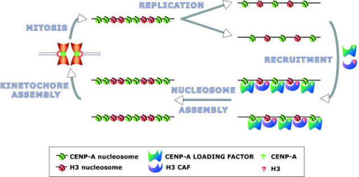 "Cyclical chromatin assembly model for propagating centromere identity. CENP-A deposition is proposed to determine centromere identity and propagation, but other epigenetic marks may determine these functions. During replication, CENP-A– and H3–containing nucleosomes segregate to daughter chromatids. ""Replenishment"" occurs via recruitment of CENP-A and H3 to sites already containing the appropriate histone due to H3 and CENP-A chromatin assembly factors or other loading factors. CENP-A and H3 recruitment are unlikely to be simultaneous, since H3 assembly is coupled to replication, and CENP-A assembly is not. Nucleosome and kinetochore assembly transmit centromeric chromatin through mitosis, and the replication/replenishment cycle continues."
