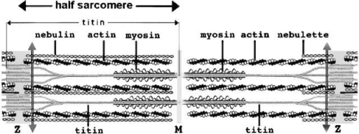 Diagram of a sarcomere bounded by the Z-bands. The left side of the sarcomere represents a half sarcomere found in vertebrate skeletal myofibrils. Note that the nebulin molecules are part of and extend the entire length of the thin filaments. The right side of the sarcomere reflects a half sarcomere in cardiac muscle cells. The smaller nebulin isoform, nebulette, begins within the Z-band and extends only a short distance along the thin filament. Titin is shown with its NH2 termini from adjacent sarcomeres overlapping in the Z-band. Groups of three titin filaments are shown aligned together in the half sarcomere and overlapping in the M-band with groups of three from the other half sarcomere. The scale of the drawing does not allow the ratio of six titins per half-thick filament or the two nebulin isoforms per actin thin filament to be illustrated. The double-headed arrows indicate the position of the region of titin used as a bait to pull out obscurin. The M-band is the mid-point of the group of aligned thick myosin filaments (A-band) where obscurin binds in cultured neonatal cardiomyocytes and in adult muscles.