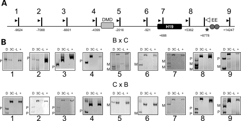 Analysis of long-range interactions at the H19 locus. (A) Schematic of the H19 locus, including the position of the coding sequence (black box), the differentially methylated domain (hatched box, DMD) and the endodermal enhancers (circles, EE). Vertical bars indicate PsuI restriction sites, numbers beneath the sites are the distance relative to the H19 transcriptional start site, and the resulting digestion fragments are numbered (1–9). Arrowheads represent the location of PCR primers for 3C analysis. The white arrowhead is the reverse primer for all reactions, which test for ligation of fragments 1–9 to the EE fragment. An asterisk indicates a restriction polymorphism that distinguishes C57BL/6J and B6(CAST7) alleles. Samples were from wild-type progeny of C57BL/6J and B6(CAST7) mice (B × C, C × B), with the female indicated first. (B) Representative gel image of 3C analysis at the H19 locus. Shown are the 3C PCR products: D, digested with NlaIII, which distinguishes paternal (P) from maternal alleles (M); 3C, non-digested PCR product; -L, no ligase control; +, positive control. The endodermal enhancers on the maternal chromosome associate with fragments in the H19 region up to the DMD, beyond which only fragments from the paternal chromosome are observed.