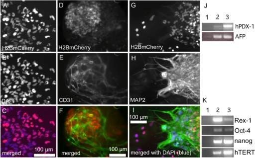 Pluripotency of clonal hESC reporter lines.(A–C) Outgrowths of differentiated cells from EBs derived from a clonal PGK-H2BmCherry hESC line showed coincident H2BmCherry (A) and DAPI (B) immunostaining visible in the merged fluorescent image (C). (D–I) Clonal PGK-H2BmCherry hESC-derived EBs developed endothelial (D–F) and neuronal (G–I) lineages. (J) Expression of endodermal genes alpha fetoprotein (AFP) and hPDX-1 by day 20 EBs of clonal PGK-H2BmCherry hESCs (lane 2) compared to undifferentiated cells (lane 1) and isolated human pancreatic islet tissue as positive control for hPDX-1 (lane 3) and day 20 parental H9 EBs as control for AFP (lane 3). (K) Pluripotency markers expressed by clonal PGK-H2BmCherry hESCs (lane 2) compared to no reverse transcriptase control (lane 1) and undifferentiated parental H9 cells (lane 3).