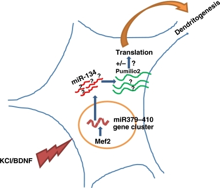 MicroRNAs from the miR379–410 cluster regulate dendritogenesis. Neuronal activity induces several microRNAs from the miR379–410 cluster in an Mef2-mediated pathway. One of these, miR-134, inhibits Pumilio2 protein synthesis essential for dendritogenesis.