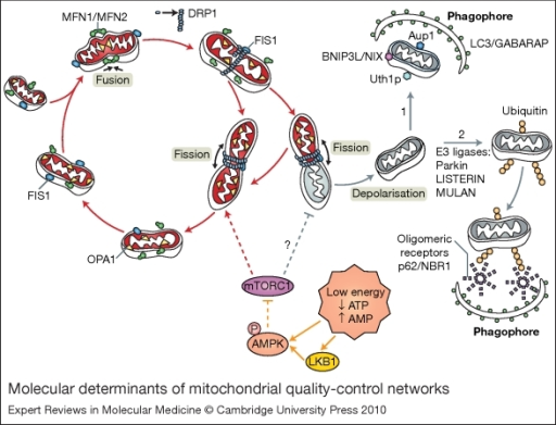 division and fusion in mitochondria essay National academy of sciences mitochondrial fusion represents a general solution and the longer mitochondrial division time becomes irrelevant.