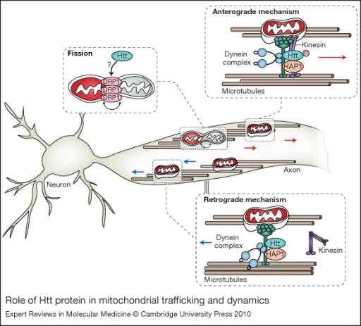 Role of Htt protein in mitochondrial trafficking and dynamics.              Mitochondrial movement in neurons is highly diverse and complex. Normal Htt protein              regulates anterograde (away from the cell body) and retrograde (towards the cell body)              transport of mitochondria by interacting with several trafficking mediators. Htt              stimulates trafficking by binding to HAP1, which in turn, leads to interaction with              the motor proteins dynein–dynactin and kinesin. Phosphorylation of Htt acts              as a molecular switch for anterograde versus retrograde mitochondrial transport. When              Htt is phosphorylated, kinesin-1 is recruited and promotes anterograde transport;              conversely, when Htt is unphosphorylated, kinesin-1 detaches from the motor complex              and induces a switch to retrograde transport (Ref. 95). In addition to migration and movement, mitochondria undergo cycles of              fusion and fission. The key mitochondrial fission regulator is dynamin-related protein              1 (DRP1). Similarly to dynamin, DRP1 seems to act as a mechano-enzyme to constrict and              divide mitochondria. Given that Htt interacts with dynamin, one can speculate that Htt              might regulate fission by interacting with DRP1. Abbreviations: HAP1, Htt-associated              protein 1; Htt, Huntingtin protein; P, phosphate.