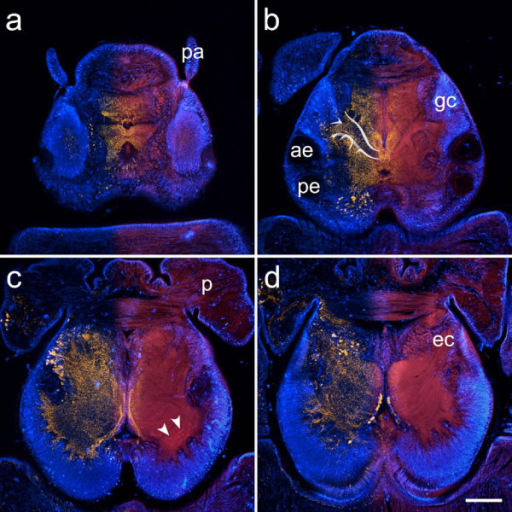 Consecutive horizontal sections through the head of Hesione pantherina (proceeding ventrad from a-d). The overlay images show FMRFamide-like immunoreactivity (yellow, left half) and autofluorescence images (red, right half) together with DAPI-labeled cell nuclei (blue). Immunostainings reveal intricate patterns in the dorsal part of the fiber mass (a, b). Paired aggregations of small globuli cells (gc) are situated in front of the anterior eyes (ae) and give rise to stalk-like neuropils converging at the midline of the brain. While the central parts of these neuropils are nearly devoid of immunostaining, scattered FMRFamide-like immunoreactivity can be observed in the peripheral parts (b). Ventrally, the globuli cell mass extends posteriorly, surrounding the central fiber mass, which is now clearly separated into two hemispheres. Small spheroid subcompartments, reminiscent of olfactory glomeruli, can be discerned in the posterior region of each hemisphere (arrowheads). Autofluorescence also reveals a striation of the nervous tissue in the ventral part of the brain. ec circumesophageal connective, p palps, pa prostomial antennae, pe posterior eyes. Scale bar: 80 μm.