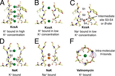 Representative binding modes of Na+ and K+ ions in structural motifs of K+-selective membrane transport molecules. (Note that only two units from the tetrameric selectivity filters are shown for clarity.) (A) The selectivity filter of KcsA (Zhou et al., 2001) adopts different configurations under conditions of high and (B) low K+ concentrations, presenting K+ with different sets of binding modes. (C) Under rare conditions when Na+ binds to the KcsA filter, Na+ prefers a binding site different from K+ (Nimigean and Miller, 2002; Shrivastava et al., 2002; Lockless et al., 2007; Thompson et al., 2009). (D) The bacterial NaK channel, which belongs to the family of CNG channels, has a selectivity filter architecture similar to KcsA, but is only weakly selective for K+. Initially, low temperature x-ray data suggested binding modes for K+ that are identical to Na+. (E) Newer higher resolution crystallographic studies show more variety in Na+ binding, attributing electron density at the S3 site to competitive binding of a contaminant (orange) with Na+, with other Na+-binding sites between planes of carbonyl or hydroxyl oxygens (Alam and Jiang, 2009). (F) In comparison to KcsA and the NaK channel, the K+-selective bacterial toxin molecule (Dobler, 1981), valinomycin, binds K+ differently, using six (or fewer) carbonyl oxygens, instead of eight (or fewer) as in KcsA and NaK.