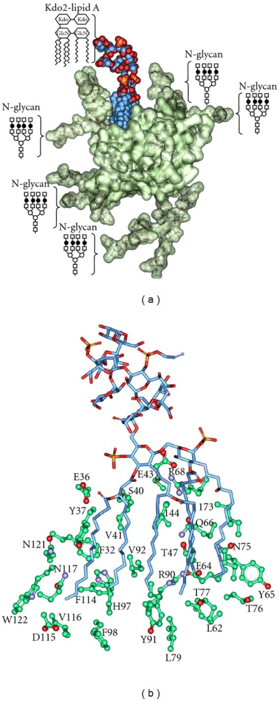 Molecular model of the Kdo2-lipid A F1*S AGP complex. (a) The AGP F1*S variant crystal structure (PDB code: 3KQ0) is shown in semitransparent surface representation, the bound Kdo2-lipid A is shown in CPK, carbon is colored blue. The Kdo2-lipid A and quaternary N-glycans on the AGP structure are indicated schematically (○ Man; □ GlcNAc; ⚫  d-Gal) and are shown in ball- and stick-representation on the model. (b) Interactions between the fatty acyl chains of lipid A and the side chains of the ligand binding cavity of AGP.