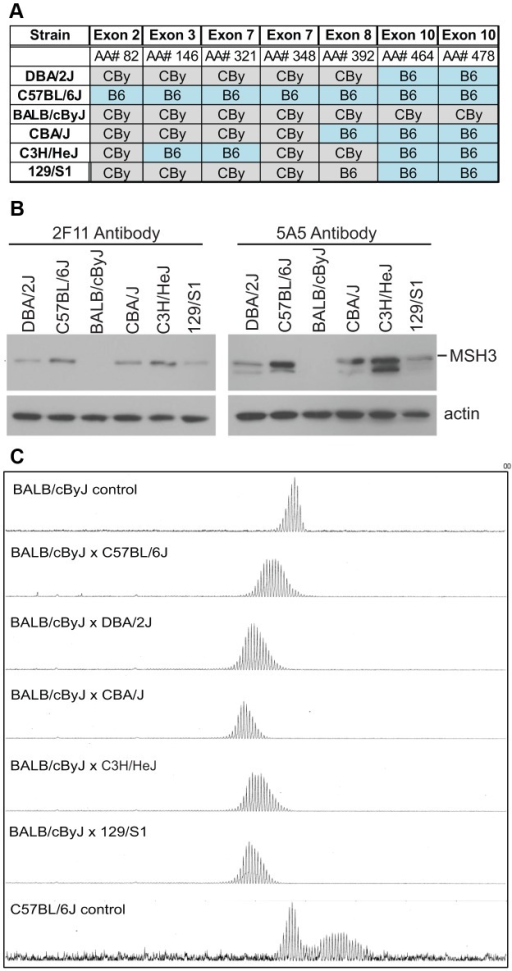 MSH3 coding polymorphisms and protein expression in different mouse strains.A) Msh3 polymorphisms in Msh3 gene from C57BL/6 (B6) and BALB/cBy (CBy) mice. Promoters were identical. SNPs were identified or confirmed to those in dbSNP by sequencing the Msh3 gene. In DBA/2J, exon 8, AA#392 was correctly identified to be T/Valine. For a given amino acid the same codon was used for the variants. The complete set of MSH3 protein polymorphisms in 14 mouse strains is in Table S2. B) MSH3 expression in spleen extract from different background using two different MSH3 antibodies [65]. The faster migrating band for 5A5 was a non-specific cross-reacting product, as described for 5A5 but not 2F11 [65]. All other figures in this study used 2F11. C) Typical GeneScan traces for sizing of the CAG repeat as outlined in Figure 1B. Representative CAG repeat distributions from liver of F1 progeny between CBy and other inbred strains of mice. The top, bottom and second panel show the controls CBy (stable), B6 (unstable), and CBy X B6 (intermediate) CAG profiles, respectively. Note: Western blot data comes from inbred mice. The higher levels of MSH3 in C3H and B6 are halved in the cross to CBy.