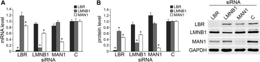 Knocking down LBR/LMNB1 reduces MAN1 mRNA and protein levels but not vice versa.Assessing mRNA (A) and protein (B) levels of LBR, LMNB1, and MAN1 while knocking them down one at a time in U2OS cells via RNAi. (A) mRNA levels of LBR, LMNB1, and MAN1 in each of the three knockdown conditions were quantified using qRT-PCR (n = 14, *p < 0.05). (B) MAN1 was significantly down-regulated when LBR or LMNB1 was knocked down (n = 14 *p < 0.001). The error bars represent SEM (left panel). Representative immunoblots show the protein levels of LBR, LMNB1 and MAN1 (right panel).DOI:http://dx.doi.org/10.7554/eLife.02981.010
