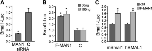 MAN1 promotes BMAL1 transcriptional activity.(A) Reduction of MAN1 transcripts (13 nM siRNA) reduced Bmal1 promoter activity (n = 3, *p < 0.001). (B) Over-expression of FLAG-tagged MAN1 (F-MAN1) enhanced Bmal1-Luc activity (n = 3, *p < 0.001). (C) Over-expression of FLAG-tagged MAN1 (F-MAN1) enhanced luciferase activities driven by mBmal1 promoter (530 bp) or hBMAL1 promoter (3.4 kb) (n = 3, *p < 0.05). Error bars represent SD.DOI:http://dx.doi.org/10.7554/eLife.02981.016
