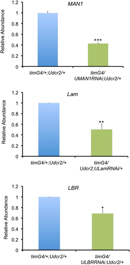 The mRNA levels of nuclear envelope genes are reduced in the corresponding knockdown flies.Plots of relative mRNA abundance for MAN1, Lam, and LBR from whole head extracts of timGAL4/+;UASdicer2/+, timGAL4/UASMAN1RNAi;UASdicer2/+, timGAL4/+;UASdicer2/UASLamRNAi and timGAL4/UASLBRRNAi;UASdicer2/+ flies determined by qRT-PCR. Error bars represent SEM (n = 3–6). Significant differences indicated by asterisks (Student's t test, *p < 0.05, **p < 0.01, ***p < 0.001). The value of timGAL4/+;UASdicer2/+ for one experiment was set to 1.DOI:http://dx.doi.org/10.7554/eLife.02981.007