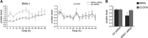 Knocking down MAN1 reduces BMAL1 protein levels.(A) Time course evaluations of U2OS cells transfected with MAN1 siRNA showed robust reduction of BMAL1 protein levels compared to ctrl siRNA. CLOCK levels were unaffected by MAN1 abundance (n = 3). (B) The quantification results of (A) were graphed (n = 14). Error bars indicate SEM.DOI:http://dx.doi.org/10.7554/eLife.02981.012