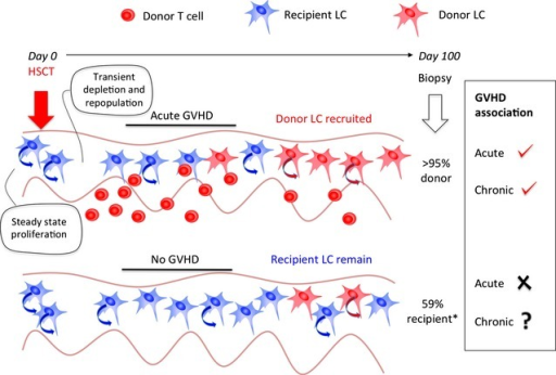 Association of GVHD with donor LC engraftment. LCs are self-renewing in the steady state. Conditioning with chemo/radiotherapy for HSCT leads to transient depletion and repopulation, probably by local proliferation. Inflammation caused by acute GVHD leads to loss of recipient LCs and engraftment of donor cells (also self-renewing). This means that a biopsy taken after acute GVHD is likely to find an inverse association between the persistence of recipient LCs and acute GVHD. Owing to the fact that acute GVHD is the most significant risk factor for chronic GVHD, high donor LC engraftment at 100 days is also more likely to be associated with chronic GVHD, although this has not been tested. Conversely, patients without acute GVHD are more likely to retain recipient LCs. Whether the level of recipient LCs remaining predicts the incidence of chronic GVHD is the question posed by Adani and colleagues in Experimental Dermatology. *Other reports suggest 90% engraftment may occur even in the absence of GVHD.