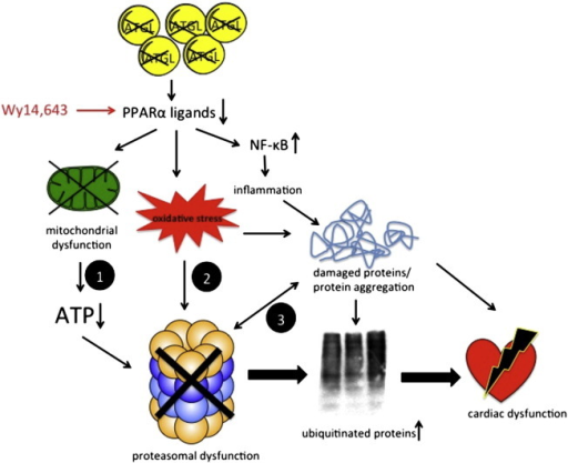 Interplay of signaling pathways leading to cardiac dysfunction. ATGL deficiency in cardiomyocytes results in decreased production of lipid ligands for PPARα activation. Consequent mitochondrial dysfunction results in decreased intracellular ATP levels, leading to reduced activation of the 26S proteasome (path 1). Proteasomal dysfunction causes accumulation and aggregation of ubiquitinated proteins. Increased oxidative inflammatory stress may damage critical residues/domains within the catalytic core of the proteasome (path 2). Damaged and/or misfolded proteins impair proteasomal activity by saturation of the 20S core with non-degradable aggregates (path 3). Restored PPARα signaling with Wy14,643 reduces oxidative inflammatory stress, improves mitochondrial function, and consequently increases UPS activity and cardiac performance.
