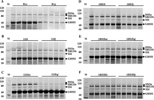 Analysis of starch GBPs in mature rice grain starch of RILs from six allele graoups of six starch synthetic genes by SDS-PAGE. Starches from five RIL lines of each allele were used. Section A: Wx allele group, B: SSI allele group, C: SSIIa allele group, D: SBEI allele group, E: SBEIIa allele group, F: SBEIIb allele group. The molecular sizes are labelled on the left of protein marker bands in kDa. The identity of each protein band in the samples is indicated on the right side of the pictures by an arrow head.