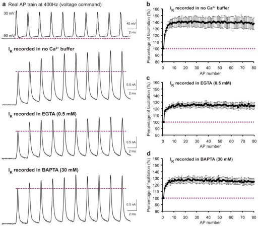 Activity-dependent facilitation of IK is Ca2+-independent(a) Whole-cell recordings of IK evoked by a typical presynaptic AP trains (previously obtained from the calyx of Held nerve terminal, the 1st AP has an amplitude of 110 mV, half-width of 0.28 ms and depolarizing after potential (DAP) of 9.6 mV) at 400 Hz with a duration of 200 ms (only the first 10 APs are shown) in the absence or presence of Ca2+ buffer EGTA at low concentration (0.5 mM) or BAPTA at high concentration (30 mM). (b–d) The normalized amplitude of IK (to the first response in a train) is summarized for no-Ca2+ buffer (n=4, b), EGTA (n=6, c) and BAPTA (n=5, d) groups. Error bars indicate ± s.e.m.