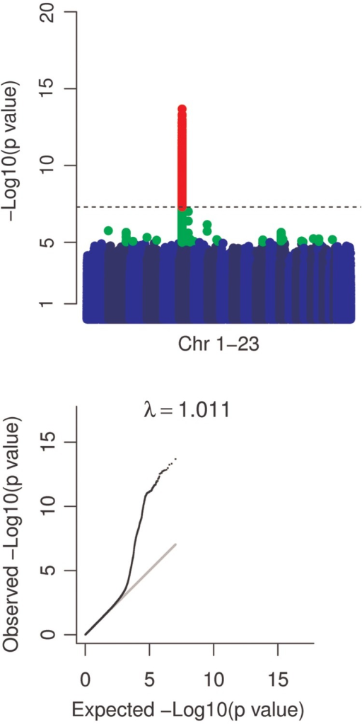 Manhattan and QQ plots. Manhattan plots with markers P < 1.E − 5 in green and P < 5.E − 8 in red indicate a strong signal on chromosome 6. QQ plots of test statistics show inflation of associations at lower P-values. A grey line indicates a straight line relationship. The genomic inflation factor (λ) is shown in text above the QQ plot. Removal of the extended MHC region resulted in a genomic inflation factor of 1.007. A dashed line indicates P = 5.E − 8.