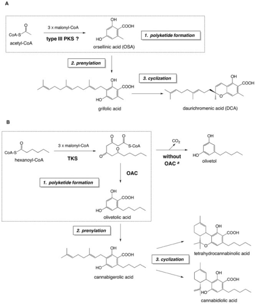 The proposed biosynthetic pathway of DCA (A) and the established biosynthetic route to major cannabinoids (B). Both pathways consist of (1) polyketide formation, (2) prenylation, and (3) cyclization steps. The polyketide formation steps of each pathway are enclosed in dashed squares. aIn the absence of OAC, the pentyl tetra-β-ketide intermediate is spontaneously cyclized to olivetol via decarboxylative aldol condensation. Abbreviations used are: OAC, olivetolic acid cyclase; TKS, tetraketide synthase.
