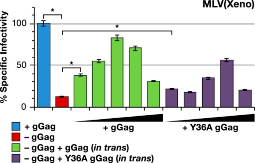 Y36A mutant of gGag is partially active in enhancing MLV(Xeno) infectivity. Specific infectivity of MLV(Xeno) with wild-type Gag-Pol (blue bar) or with mutant Gag-Pol lacking gGag (red bar), and MLV(Xeno) with mutant Gag-Pol cotransfected with increasing amounts of wild-type (green bars) or Y36A mutant gGag (purple bars) pCMV(glycogag). The wild-type or Y36A mutant gGag/Gag-Pol plasmid ratios used were increased by threefold increments from 1:243 to 1:3. The target cell line used in these experiments was HT1080/mCAT1. *, P < 0.0001.
