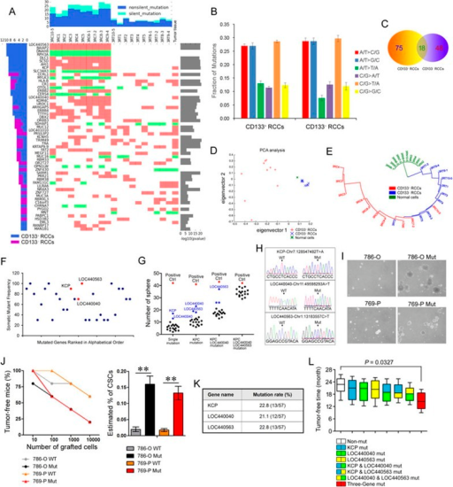 Identification of driver genes in renal cell carcinoma stem cells via single-cell exome sequencing. (A) Detection of somatic mutations in CD133+CD133− RCC cells and in cancer tissue. The main plot shows information for genes with mutations for 20 cells and original cancer tissue. The red color represents non-silent mutations and green color represents silent mutations. (B) Somatic mutation graph. Two substitutions (A/T>G/C and C/G>T/A) are clearly frequent. (C) Venn plots show the somatic mutations in CD133+ and CD133− RCC cells. (D) Principle component analysis (PCA) of the mutations in the CD133+ RCC cells (red), CD133− RCC cells (green) and normal cells (blue). Eigenvector is defined as the Covariance Matrix. (E) A neighbor-joining tree was constructed using the somatic mutation data set. The normal cells are labeled in green, CD133− RCC cells are labeled in blue, and CD133+ RCC cells are labeled in red. (F) The average mutation frequency of 29 genes with variations in at least 3 CD133+ RCC cells. The mutation frequency indicates the percentage of CD133+ RCC cells with the mutated gene. (G) Data points indicate the average number of spheres of RCC cells with distinct mutations in serum-free conditions. Each of the 20 mutations was tested alone (first column, 'single mutation'), in combination with a KCP mutation (second column) or in combination with KCP and LOC440040 mutations (third column). Other mutations were also tested in combination with KCP, LOC440040, and LOC440563 mutations (fourth column). Mutation combinations that enhanced the in vitro spherogenicity (blue) were selected for in vivo validation. CD133+ cells spheres served as the positive control (red). (H) Representative Sanger-sequencing data of KCP, LOC440040, and LOC440563 in wild-type (WT) and mutated (Mut) renal cancer cells are listed below. (I) Representative oncospheres in mutated (Mut) and vehicle renal cancer cells. (J) The 18-week tumor-free rate of NOD/SCID mice after subcutaneous injection at the indicated dilutions of 786-O WT, 786-O Mut, 769-P WT, and 769-P cells (left panel, n = 6 mice per group). The estimated percentage of CSCs in 786-O WT, 786-O Mut, 769-P WT, and 769-P Mut cells in xenografted mice using extreme limiting dilution analysis (n = 6 grafted tumors per dilution; right panel). (K) The CD31−CD45−CD133+ cells from 57 RCC patients were individually sorted and pooled together for the indicated targeted sequencing. The mutation rates of KCP, LOC440040, and LOC440563 are indicated. (L) The average tumor-free time of 57 renal cancer patients with or without KCP, LOC440040, and/or LOC440563 mutation(s) after primary tumor resection.