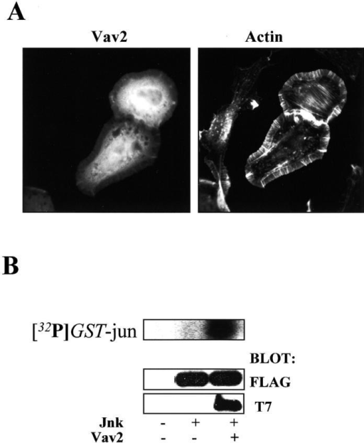 Vav2 stimulates lamellipodia and Jnk activity. (A) NIH3T3 cells were transfected with Vav2, fixed after 24 h, and stained for Vav2 expression with the T7 antibody and for actin with rhodamine-phalloidin. (B) COS7 cells were transfected with Vav2 and FLAG epitope–tagged Jnk followed by immunoprecipitation of Jnk with FLAG antibody. Jnk activity was determined as described in Materials and methods by phosphorylation of GST-jun (top). Cell lysates were Western blotted to determine Jnk (middle) and Vav2 (bottom) expression. These results are representative of four experiments.