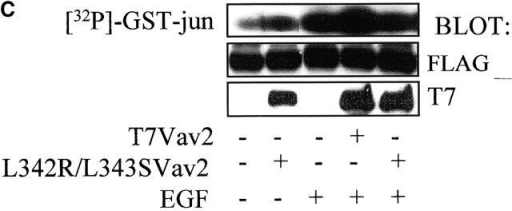 Vav2 is not necessary for PDGF-dependent ruffling or EGF-dependent Jnk activation. (A) NIH3T3 cells were stimulated with PDGF or COS7 cells were stimulated with EGF and immunoprecipitations were done with preimmune serum (PI) or Vav2 antibody (Vav2). The proteins were separated by SDS-PAGE and tyrosine phosphorylation of Vav2 was determined by Western blotting. (B) NIH3T3 or COS7 cells were transfected with L342R/L343SVav2, serum-starved, and then NIH3T3 cells were stimulated with PDGF (top) and COS7 cells were stimulated with EGF (bottom). Cells were stained for Vav2 expression with T7 antibody and with rhodamine-phalloidin. The left panels are quiescent cells expressing L342R/L343SVav2, the middle panels are growth factor–stimulated cells expressing L342R/L343SVav2, and the right panels are untransfected cells stimulated with growth factor. (C) COS7 cells were transfected with L342R/L343SVav2 and FLAG-Jnk. The cells were serum starved and stimulated with EGF and Jnk activity ([32P]GST-jun) was determined as described in Material and methods. Cell lysates were also western blotted with FLAG antibody to determined Jnk expression and with T7 antibody to determine Vav2 expression. These results are representative of four experiments. Bar = 10 μm.