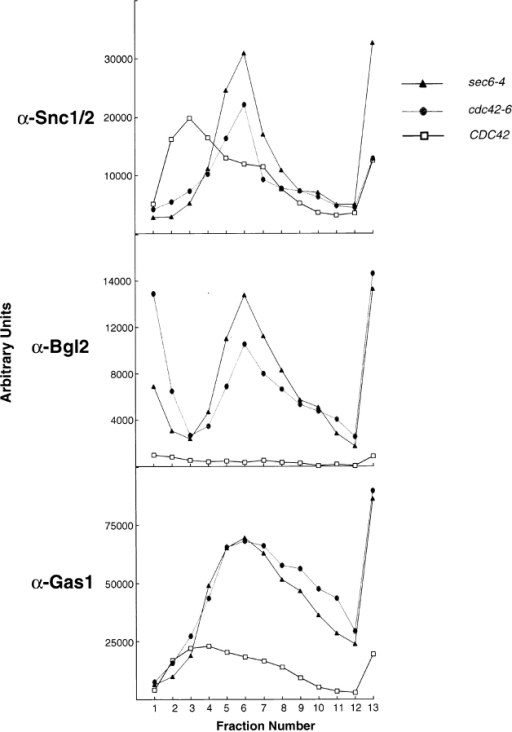 Snc1, Bgl2, and Gas1 are all associated with vesicles that accumulate in cdc42-6 cells. Vesicle gradients of 20 to 40% sorbitol were prepared for each of CDC42, cdc42-6, and sec6-4. Normalized volumes of lysed cells (shifted for 1 h to 37°C for sec6-4 and 33°C for CDC42 and cdc42-6) for each strain were layered onto a gradient before a 1.5 h, 71,000 g spin. The gradients were then collected in 16 fractions and these fractions were subjected to SDS-PAGE analysis and blotted with the indicated antibodies.