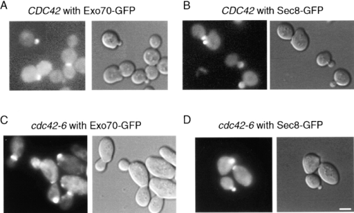 Localization of Exo70-GFP and Sec8-GFP in CDC42 and cdc42-6 strains. COOH terminally tagged GFP constructs were transformed into wild-type and cdc42-6 cells and examined by fluorescence microscopy. The results for wild-type (A and B) and cdc42-6 cells following a 1-h shift at 33°C (C and D) demonstrate that the polarization of the exocyst complex was unaffected in cdc42-6 cells. DIC and GFP fluorescence images were captured immediately following temperature shift. Similar were results were obtained by addition of formaldehyde directly to the media at the end of the temperature shift. Bar, 5 μm.