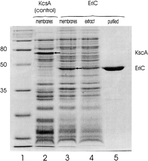 Overexpression and purification of EriC. Protein samples were run on a 13% polyacrylamide gel. (1) Molecular mass markers (broad range; Bio-Rad Laboratories), (2) control membranes (600 μg protein, estimated as 0.6 A280-ml) from E. coli induced to express KcsA, (3) membranes from E. coli expressing EriC (600 μg protein), (4) clarified membrane extract (equivalent to 600-μg membranes), (5) 9 μg purified EriC.